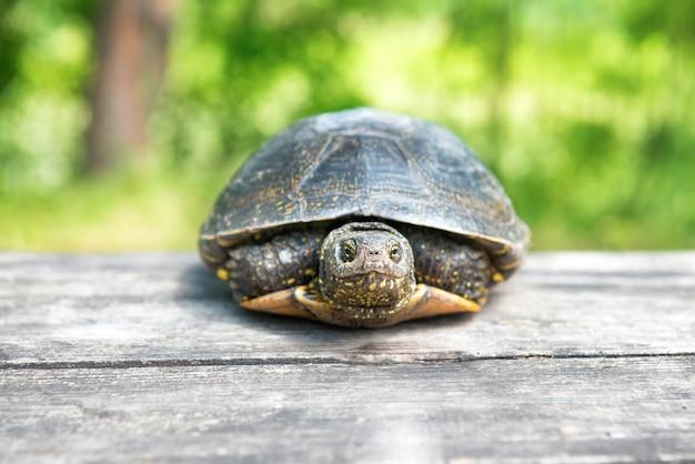 Tartaruga grande na velha mesa de madeira com grama ensolarada no fundo