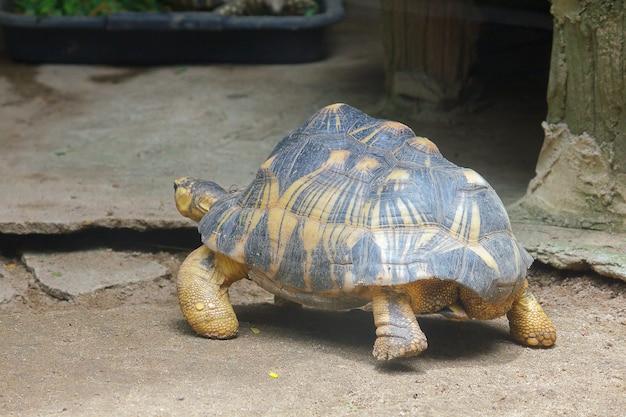 Tartaruga irradiada é walk