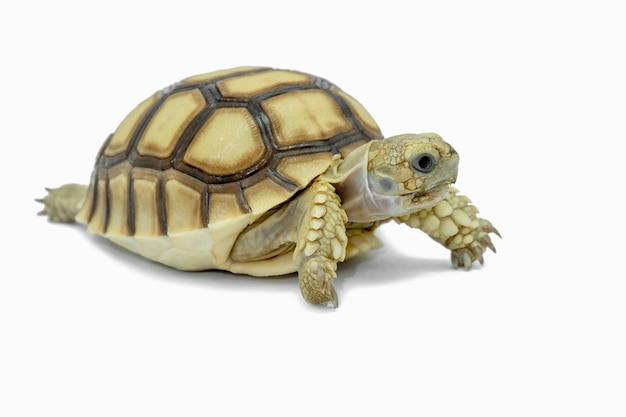 Tartaruga isolada em um arquivo branco contém com traçados de recorte por isso é fácil de trabalhar.