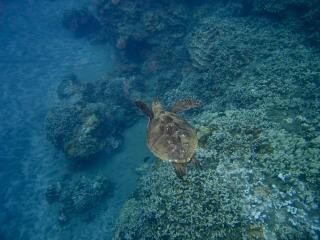 Tartaruga marinha, mergulho