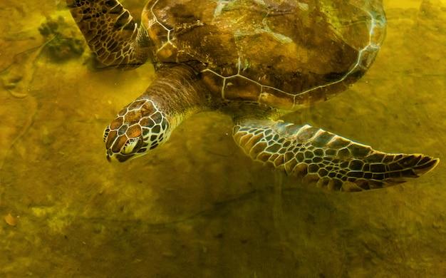 Tartaruga marinha na lagoa de recuperação esperando para retornar ao mar