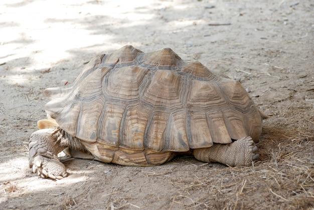 Tartaruga marrom velha no zoológico