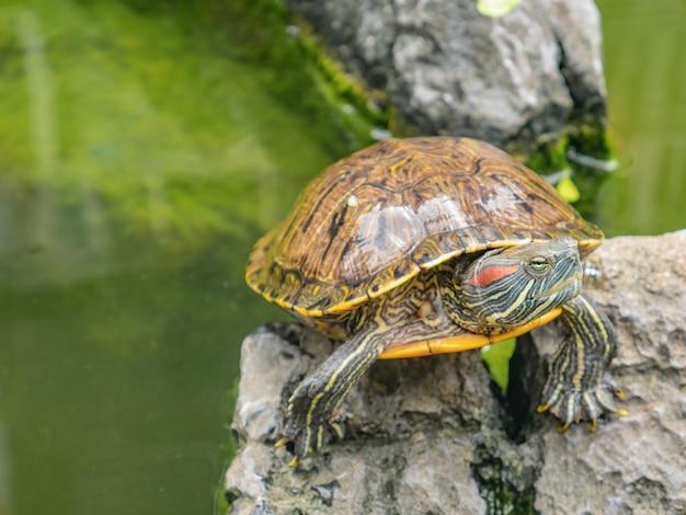 Tartaruga na lagoa de água com refração da árvore e construção sobre a água na rua hualin guangzhou china