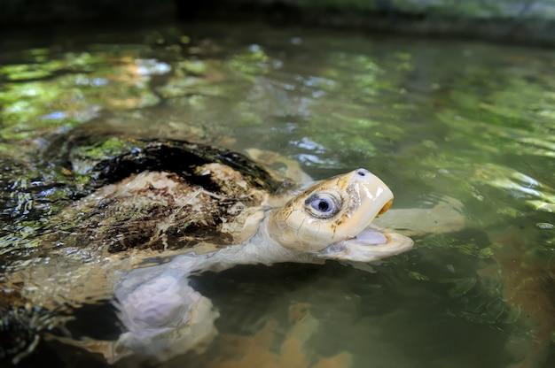 Tartaruga na praia selvagem. ilha do sri lanka
