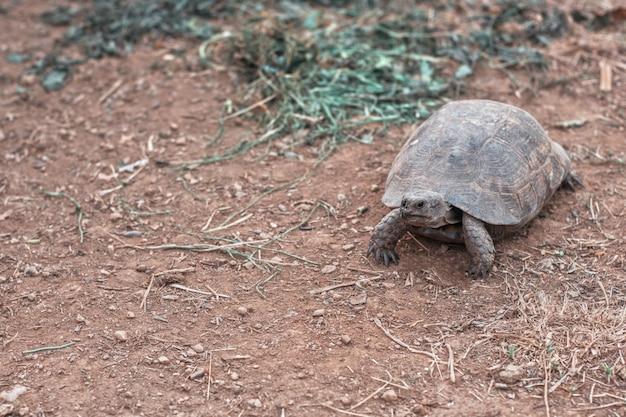 Tartaruga na terra