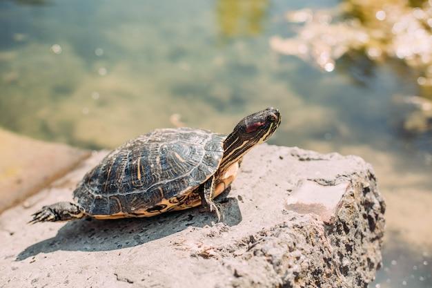 Tartaruga pedra lago parque sol relaxamento quente