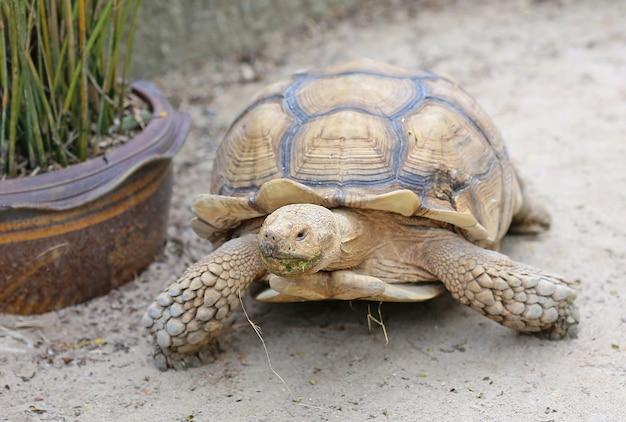 Tartaruga spurred africana no jardim