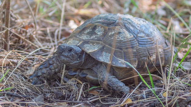 Tartaruga terrestre caminhando na floresta