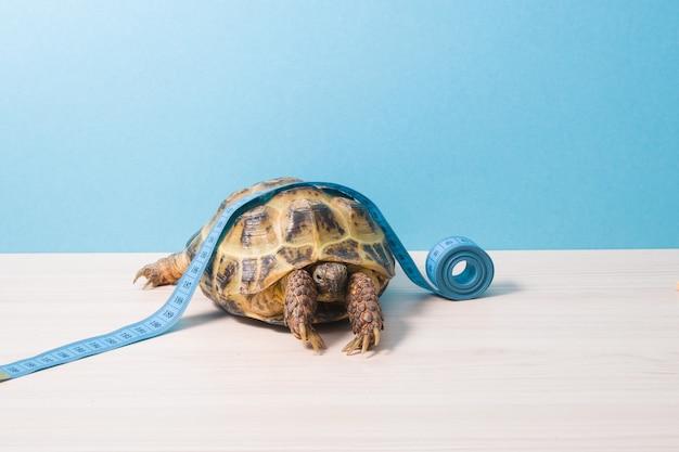 Tartaruga terrestre e fita métrica azul em sua carapaça