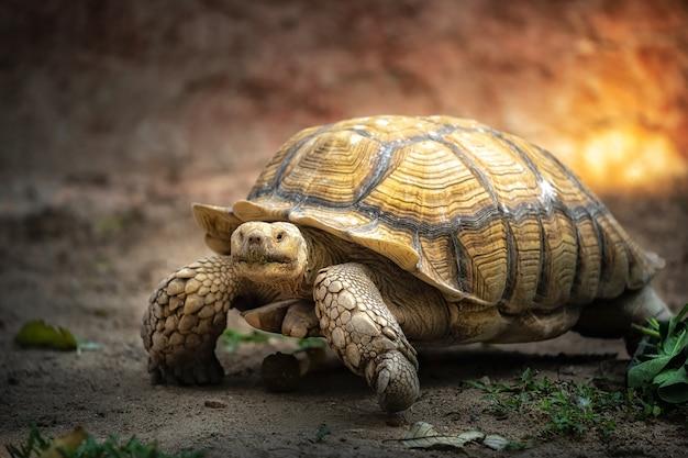 Tartarugas gigantes estão caminhando lentamente no zoológico.