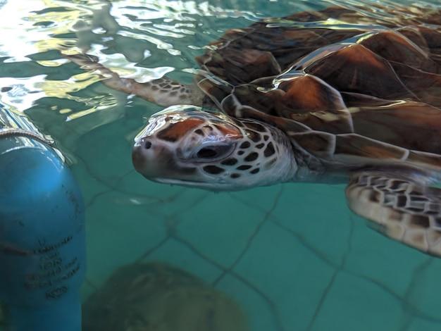 Tartarugas marinhas nadam em uma lagoa de conservação