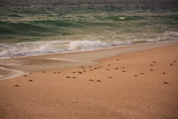 Tartarugas na praia de ras al jinz em omã