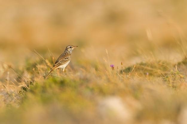 Tawny pipit sentado na grama em um prado rochoso