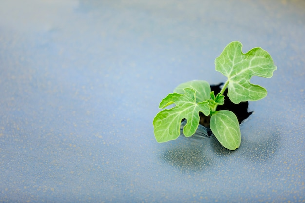 Técnicas modernas de cultivo de melancia na índia