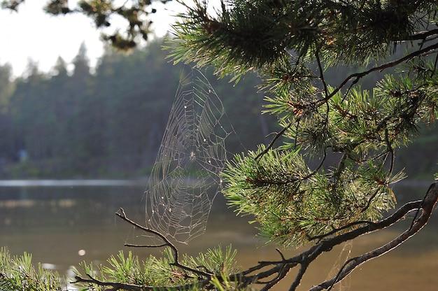 Teias de aranha de paisagem de outono em galhos de pinheiro