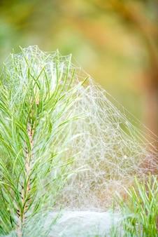 Teias de aranha do outono em agulhas do pinho, macro. em gotas de orvalho. manhã quente no meio do nevoeiro. na floresta