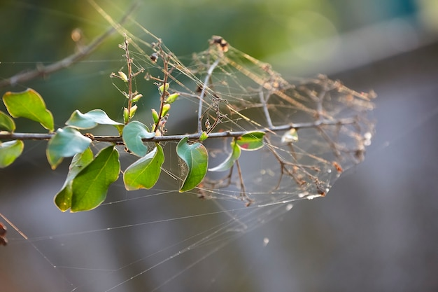 Teias de aranha em um galho de planta no outono