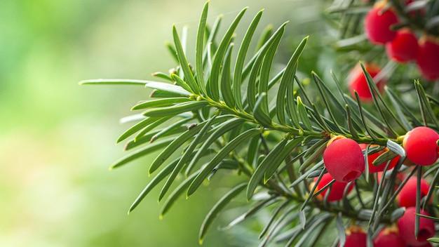 Teixo, frutos vermelhos maduros em um galho, verde