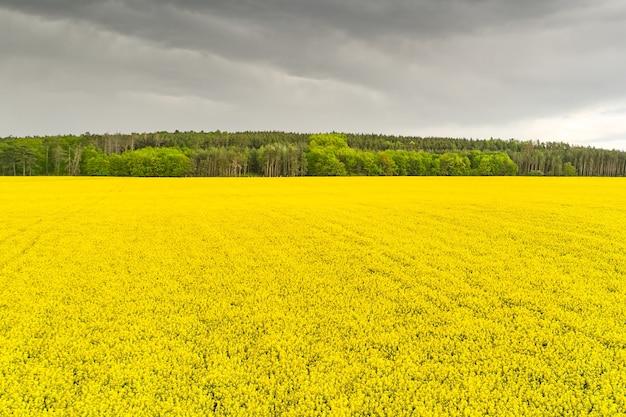 Tempestade em um campo de colza e floresta