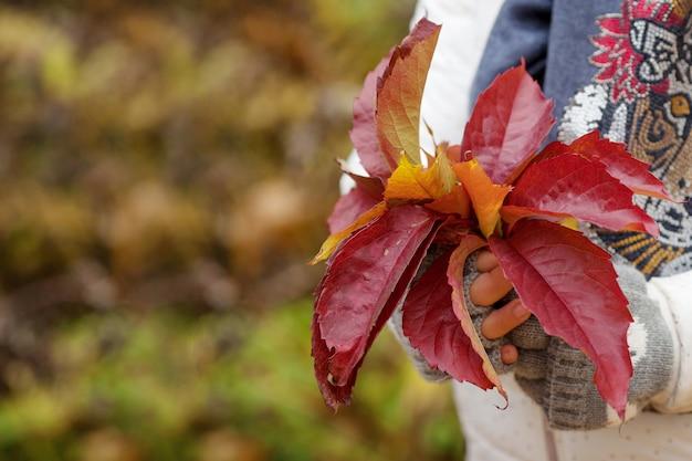 Tempo de outono. mãos de menina segurando um buquê de folhas coloridas de uvas inaugurais. feche a imagem. copie o espaço