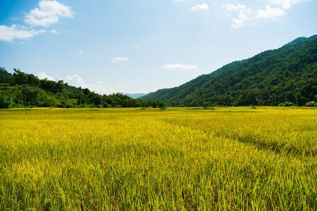 Temporada de colheita de campo de arroz chegando