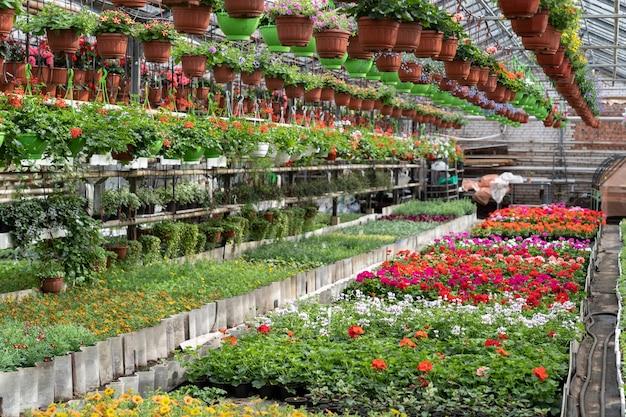Temporada de flores em estufa com fileiras de flores em flor e vasos com plantas em estufa comercial