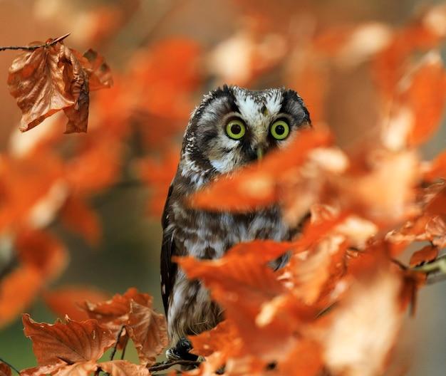 Tengmalm owl em folhas de outono