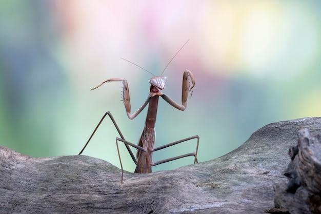 Tenodera sinensis mantis