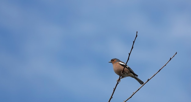 Tentilhão macho sentado em um galho fino sob um céu azul claro