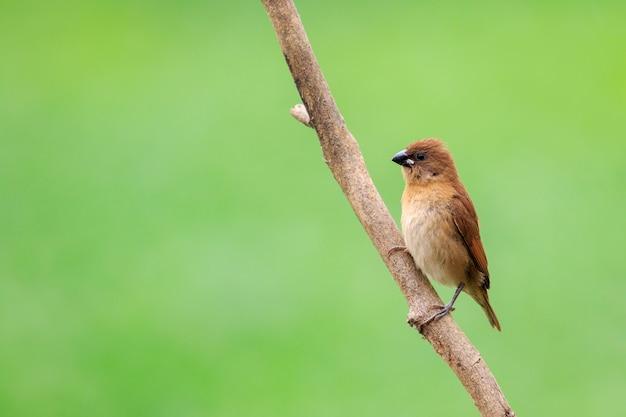 Tentilhão, toutinegra ou carriça no galho. pássaro. animal. Foto Premium