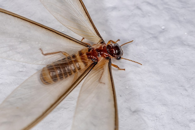 Térmita alada fêmea adulta da epifamília termitoidae