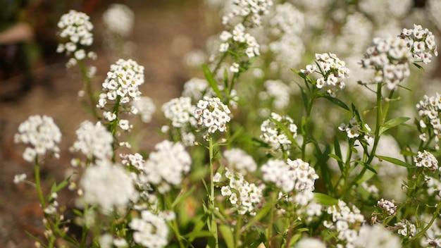 Ternas flores brancas, califórnia. prado primaveril, jardim primaveril ou flor botânica lea