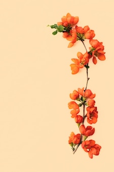 Terno galho de primavera com close up de flores de marmelo brilhante em fundo pastel com espaço para design