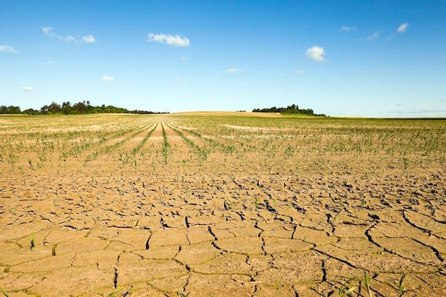 Terra rachada devido à falta de água no campo, onde se cultiva milho. verão.