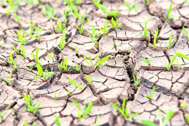 Terra seca e rachada com pequenas plantas verdes