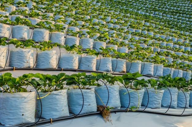 Terraço da exploração agrícola da morango da agricultura na inclinação de montanha no campo de tailândia.