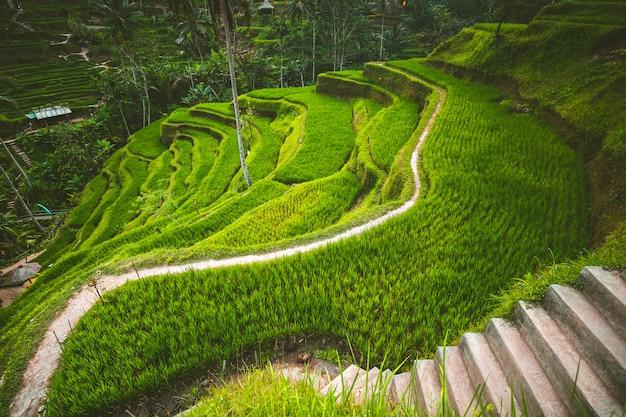 Terraço de arroz tegalalang no ubud, bali.