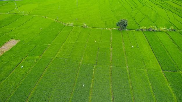 Terraços bonitos do arroz na luz da manhã perto da vila de tegallalang, ubud, bali, indonésia.