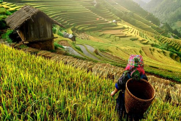 Terraços de arroz bonito, em mu cang chai, yenbai, vietnam.