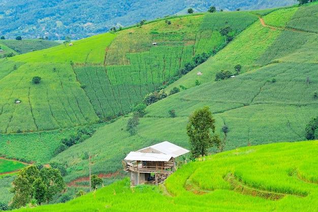 Terraços de arroz de pa pong piang no norte de chiangmai, tailândia.