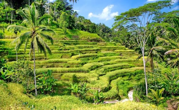 Terraços de arroz em bali