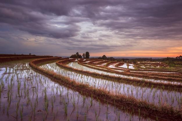 Terraços de arroz em bengkulu utara, indonésia, lindas cores e luz natural do céu
