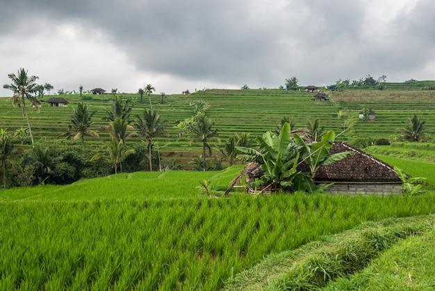 Terraços de arroz em tegallalang, ubud, bali, indonésia.