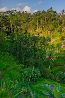 Terraços do arroz de tegallalang, regência de gianyar, bali, indonésia. arroz terraces eco park