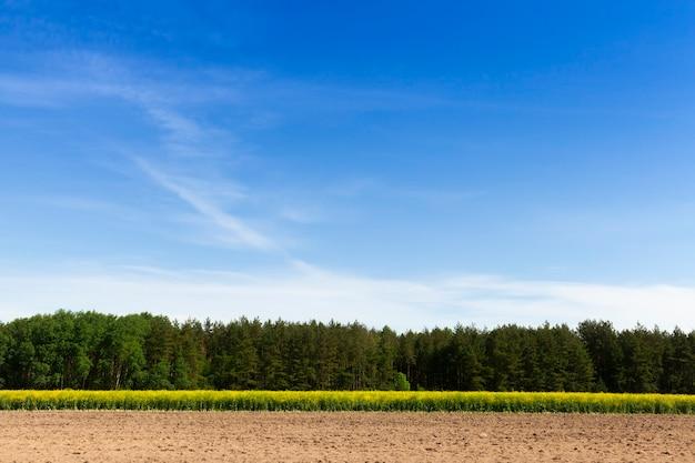 Terras agrícolas nas quais a canola é cultivada, paisagem de primavera com céu azul