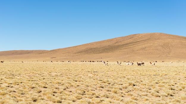 Terras altas desérticas nos andes com lhamas