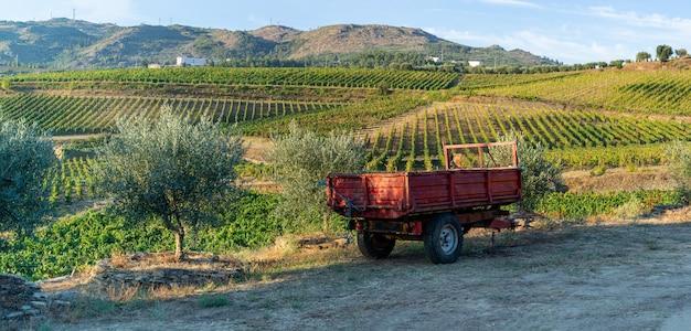 Terreno plantado com vinhas para a colheita do vinho