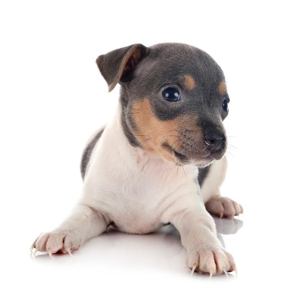 Terrier brasileiro filhote