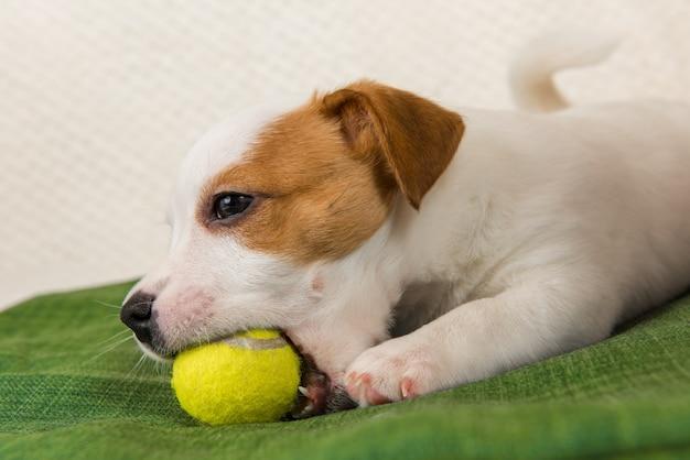 Terrier cão jack russel brincando com bola de tênis