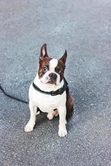 Terrier de boston cachorro cute em fundo cinza